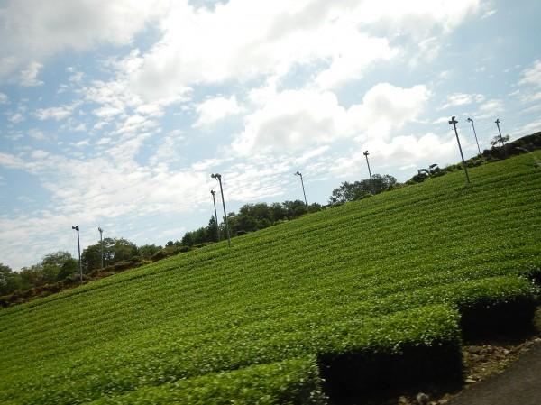南山城のお茶畑