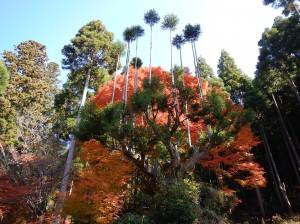北山の台杉