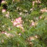 森のお花見シリーズ初夏編:「古里の山をけぶらすねむの花」~ちいきのgraffiti~