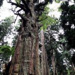 青い森の巨木
